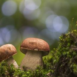 Le bolet champignon comestible
