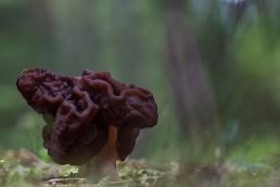 Gyromitra-esculenta-fausse-morille